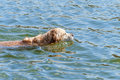 Golden Retriever dog swimming in water Royalty Free Stock Photo
