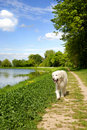Golden retriever dog walking Royalty Free Stock Photo