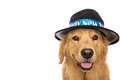 Golden retriever dog wearing new years eve hat a a that says happy year Stock Photography