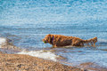 Golden Retriever fetching ball in water Royalty Free Stock Photo