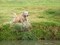 Golden Retriever GR dog diving into pond Stock Images