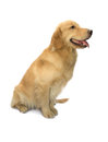 Golden retriever human truely friend sitting isolated in white background with clipping path Royalty Free Stock Images