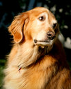 Golden Retriever looking Stock Images