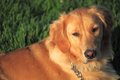 Golden retriever lovely young sit in park in early morning Royalty Free Stock Photography
