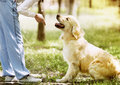 Golden retriever outdoor training process in the park Stock Images