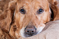 Golden retriever pies Fotografia Royalty Free