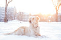 Golden retriever playing outside in snow a beautiful cold winter Royalty Free Stock Images
