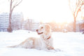 Golden retriever playing outside in snow a beautiful cold winter Royalty Free Stock Photo