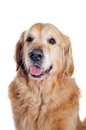 Golden retriever portrait isolated on white background Royalty Free Stock Photography
