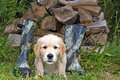 Golden Retriever pup with boots Royalty Free Stock Photo