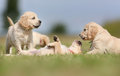 Golden retriever puppies having fun seven week old outdoors on a sunny day Royalty Free Stock Photos
