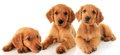 Golden retriever puppies three studio on white Royalty Free Stock Image