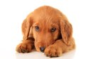 Golden retriever puppy a Stock Photography