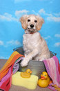 Golden Retriever Puppy in a Bath Tub Stock Images