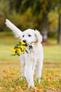 Golden retriever puppy carrying a flower bouquet with flowers Royalty Free Stock Photos