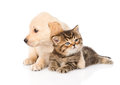 Golden retriever puppy dog hugging british cat. isolated on whit Royalty Free Stock Photo