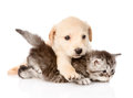 Golden retriever puppy dog hugging british cat. isolated Royalty Free Stock Photo