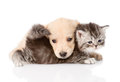 Golden retriever puppy dog playing with british kitten. isolated Royalty Free Stock Photo
