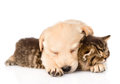 Golden retriever puppy dog sleep with british kitten. isolated o Royalty Free Stock Photo