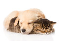 Golden retriever puppy dog sleep with british kitten. isolated Royalty Free Stock Photo