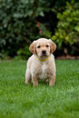 Golden retriever puppy in a garden Stock Images