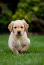 Golden retriever puppy in garden Stock Images