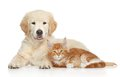 Golden Retriever puppy and ginger kitten Royalty Free Stock Photo