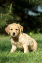 Golden retriever puppy sitting in garden Royalty Free Stock Photography