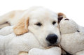 Golden retriever puppy sleeping cute with with his teddy Stock Photos