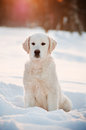 Golden retriever puppy in the snow Royalty Free Stock Image