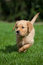 Golden retriever puppy walking in garden Stock Photos