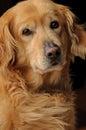 Golden retriever purebreed dog listening purebred portrait Stock Photography
