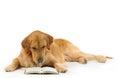Golden retriever read a book Stock Images