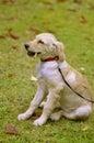 Golden Retriever's puppy Stock Image