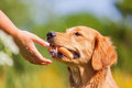 Golden retriever with a sausage in the snout Royalty Free Stock Photo