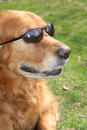 Golden Retriever with Shades Stock Images