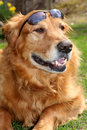 Golden Retriever with Shades Stock Photography