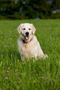 Golden retriever sitting garden Royalty Free Stock Photography