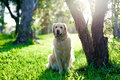 Golden retriever sitting on grass under tree Stock Photography