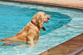 Golden retriever swimming in the pool Royalty Free Stock Photo