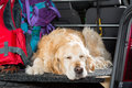 Golden Retriever Trip Royalty Free Stock Photo