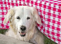 Golden retriever under a tablecloth blond red and white checkered Royalty Free Stock Photo