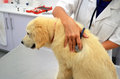 Golden retriever at vets dog being checked out with a stethoscope Royalty Free Stock Image