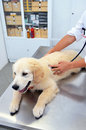Golden retriever at vets veterinarian checking a puppy retrievers heart with a stethoscope Royalty Free Stock Image