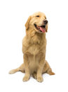 Golden retriever waiting for order in white background with clipping path Royalty Free Stock Photos