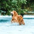 Golden retriever walk in the park Royalty Free Stock Photos