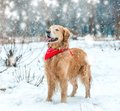 Golden retriever walk in the park Stock Photos