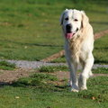 Golden retriever walking unleashed in park Stock Image