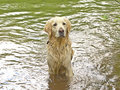 Golden retriever in the water Stock Photography