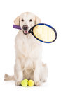 Golden retrieverhundtennisspelare Royaltyfria Bilder